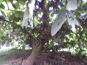 fig tree at sringeri