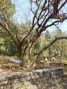 The Banni tree