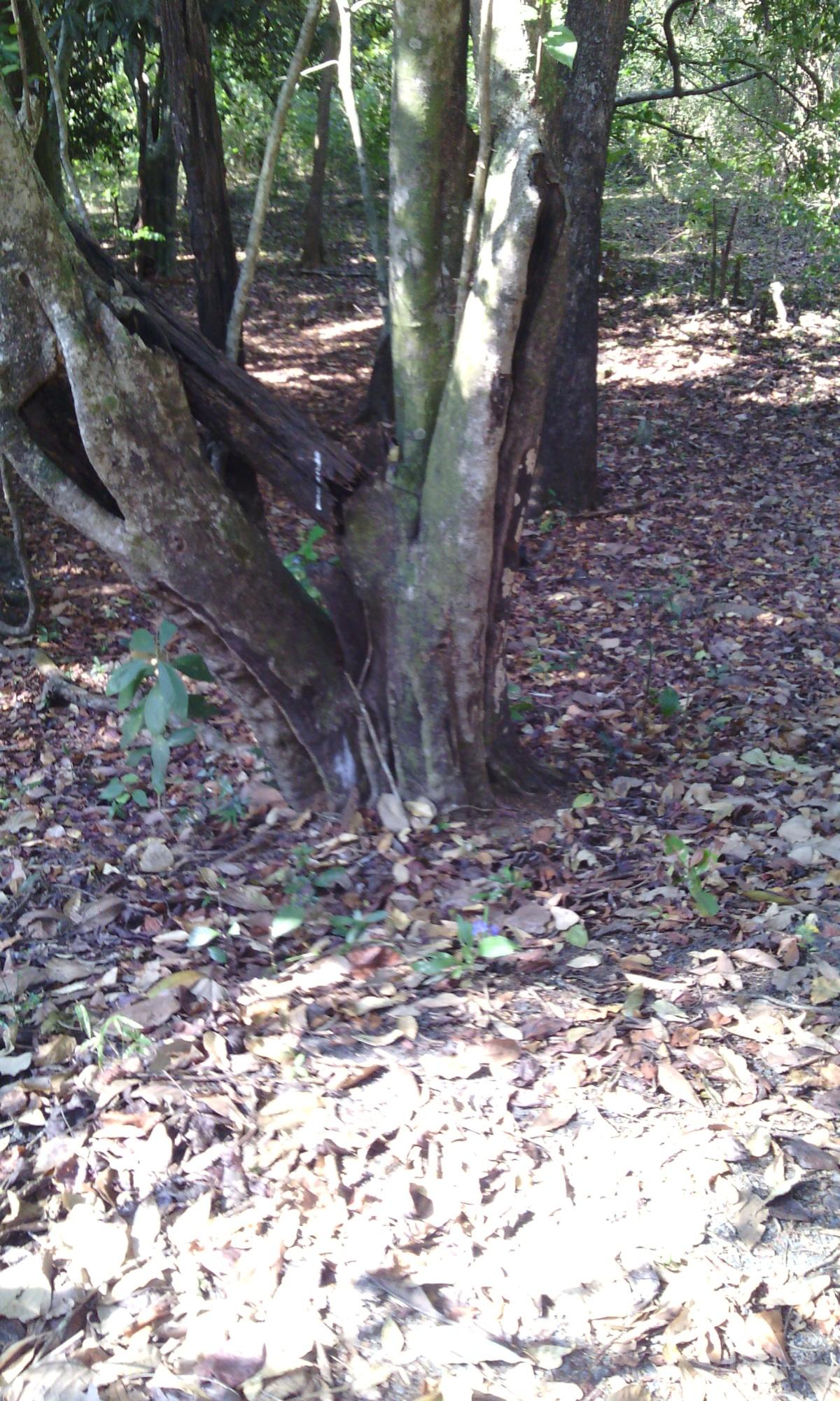 A Sacred Grove –Nagvemcha Raya